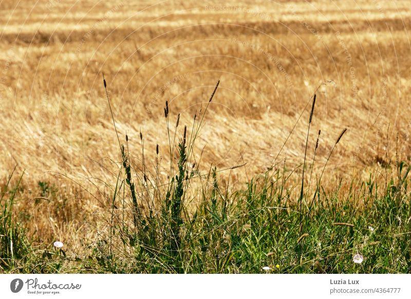 Am Feldrand... ein abgeerntetes Getreidefeld, Halme am Rand Sommer sommerlich Sommerzeit Landschaft Landwirtschaft Kornfeld Außenaufnahme Nutzpflanze Natur