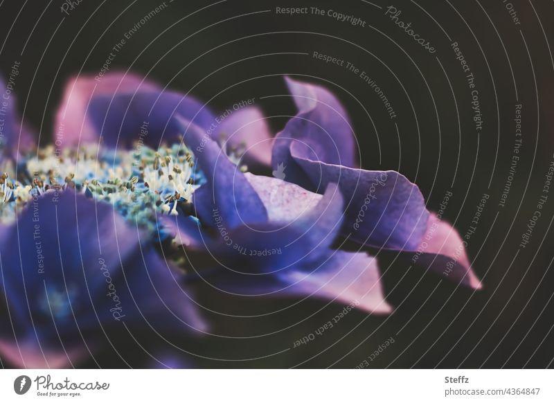Hortensie blüht / halbdunkler Traum in lila / schattenhaft violett Hortensienblüte blühende Hortensie Tellerhortensie Gartenblume Zierpflanze Gartenpflanze