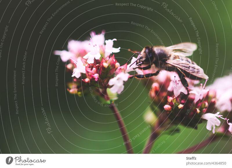 fleißige Biene sammelt Nektar und Pollen auf Oreganoblüten Bestäuber bestäuben Nektarsuche Honigbiene Blüte Blütenbestäuber Blütenbestäubung Nektarsammler Blume