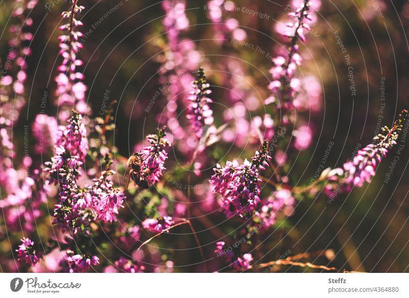 Die Heide blüht. Mosaik aus Licht und Schatten. Es duftet nach Honig. Heideblüte Haiku blühende Heide Heidekraut Besenheide Heidestrauch Calluna vulgaris