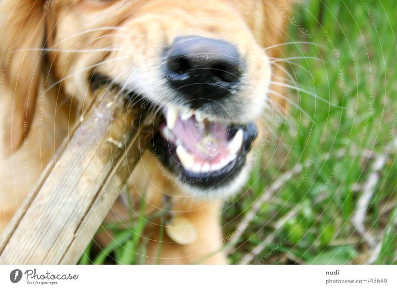 trau dich... Hund Stock Fell grün Golden Retriever Mund Gebiss Nase Zunge beißen Rasen