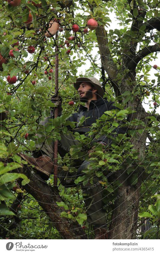 junger Mann sitzt zum Äpfel pflücken in einem Apfelbaum Ernte Apfelernte Apfelsaison Selbstversorgung Selbstversorger Erntezeit Obstpflücker biologisch reif