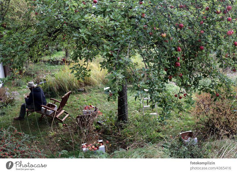 Apfelernte oder Mann mit Hut sitzt unter einem reifen Apfelbaum Äpfel ernten Hutablage Gartenstuhl Bioprodukte Ernte Baum frisch Herbst Lebensmittel Natur