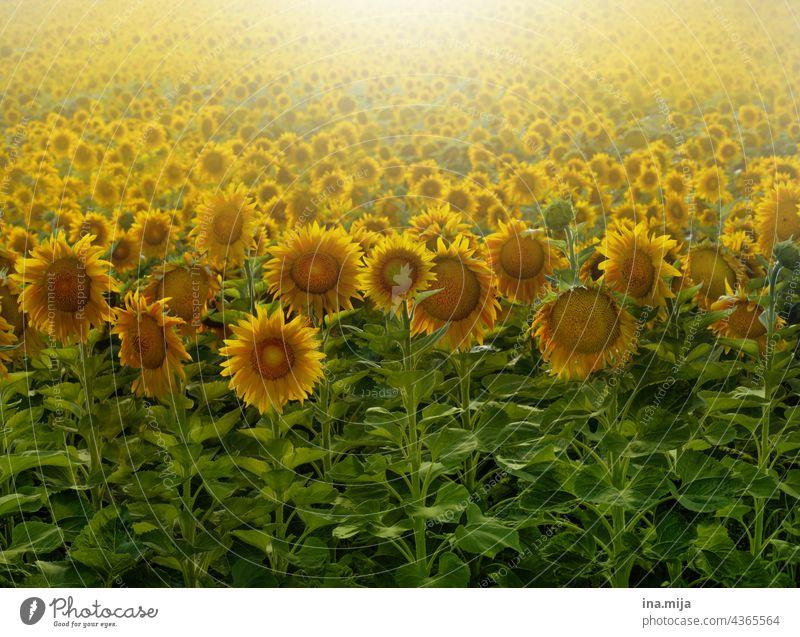 Sonnenblumenfeld grün gelb Gegenlicht Feld Sommer Blume Natur Pflanze Außenaufnahme Blühend Blüte Nutzpflanze Sonnenblumenkern Sonnenblumenöl
