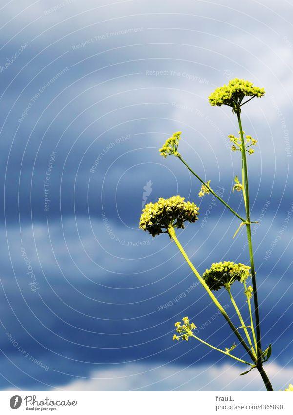 Blühender Liebstöckel Pflanze Kraut Himmel Wolken Natur Balkon Blüte aromatisch bescheiden Dachterrasse lecker Insektenliebling