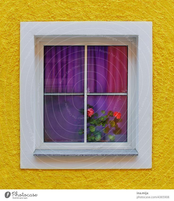 gelbe Fassade und Fenster mit lila Vorhängen und pinken Rosen Farben bunt violett Fensterscheibe Fensterblick Fensterrahmen Fensterplatz Glas Glasfenster