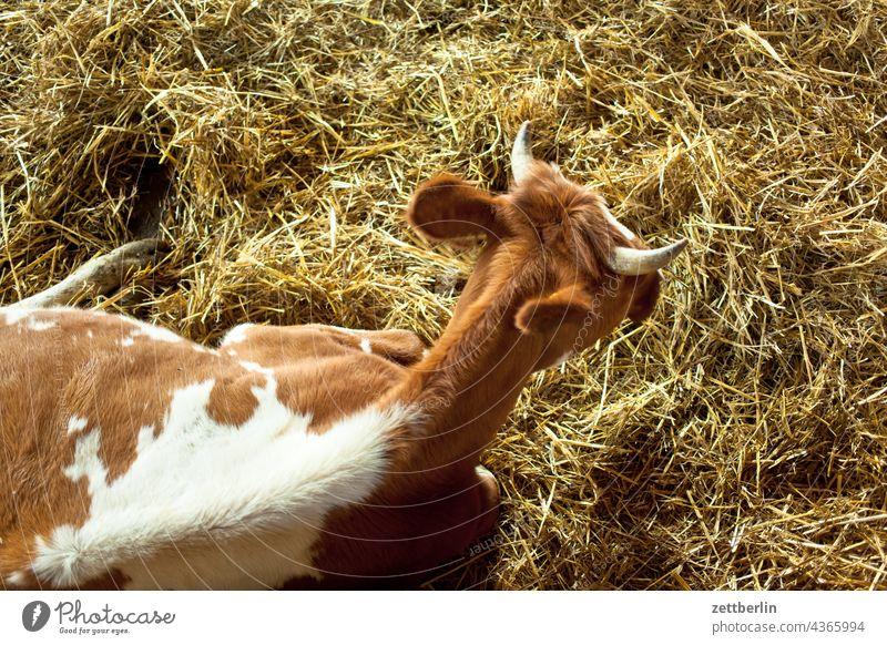 Kuh aus der Vogelperspektive kuh milchkuh tier stall stroh tierhaltung kuhstall sitzen tierwohl tierhaltung demeter bauernhof artgerecht milchproduktion