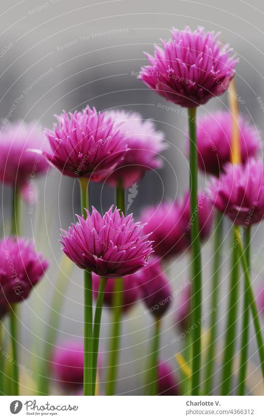Schnittlauchblüten schnittlauchblüte magenta rosa grün grau zart Kräuter & Gewürze Pflanze Natur Nahaufnahme frisch Schwache Tiefenschärfe Außenaufnahme Blüte