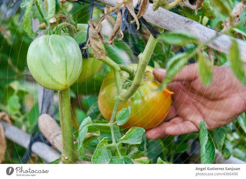 Nahaufnahme eines Landwirts, der Tomaten vor der Ernte in der Hand hält, Konzept des ökologischen Landbaus und der Landwirtschaft. Ackerbau grün Natur Pflanze