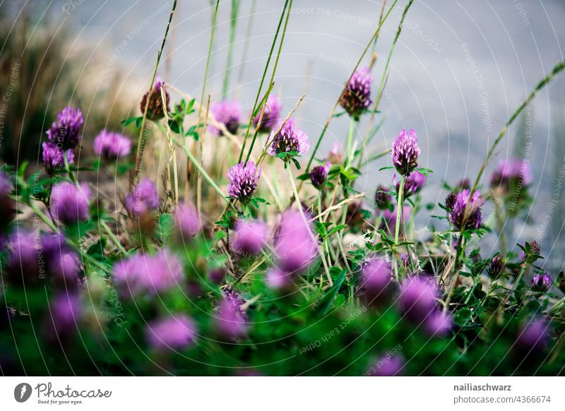 Klee. verbreitet Rasenunkraut Blütenstand Schmetterlingsblütler wild Frühling Sommer Sonne grün Wiese Natur Feld natürlich lila geblümt ländlich Pflanze Gras