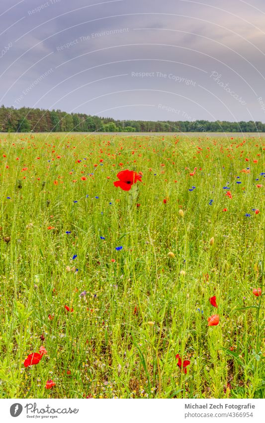 Schönes Feld mit roten Mohnblumen Sonnenlicht Blume Natur geblümt Wiese Gras schön Sonnenuntergang Sommer Landschaft Garten Pflanze Hintergrund natürlich grün