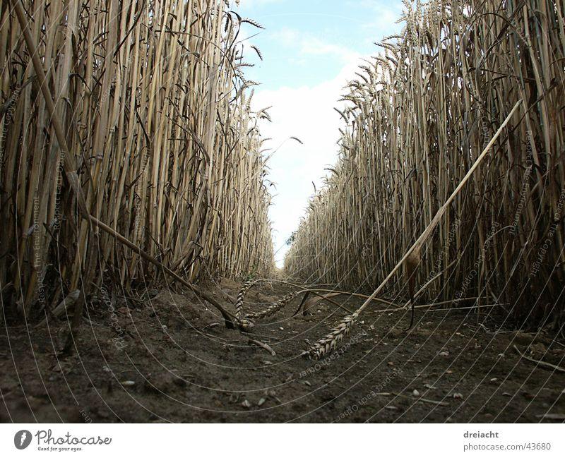 Feldweg Himmel Sommer Wolken Wege & Pfade Feld Erde Getreide Halm
