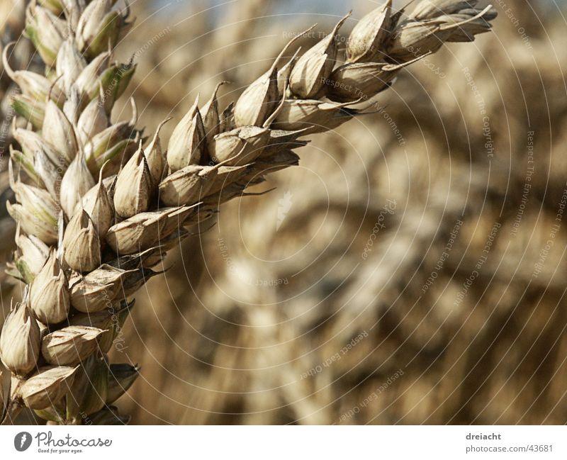 Aehre Halm Feld Sommer Korn Getreide Natur