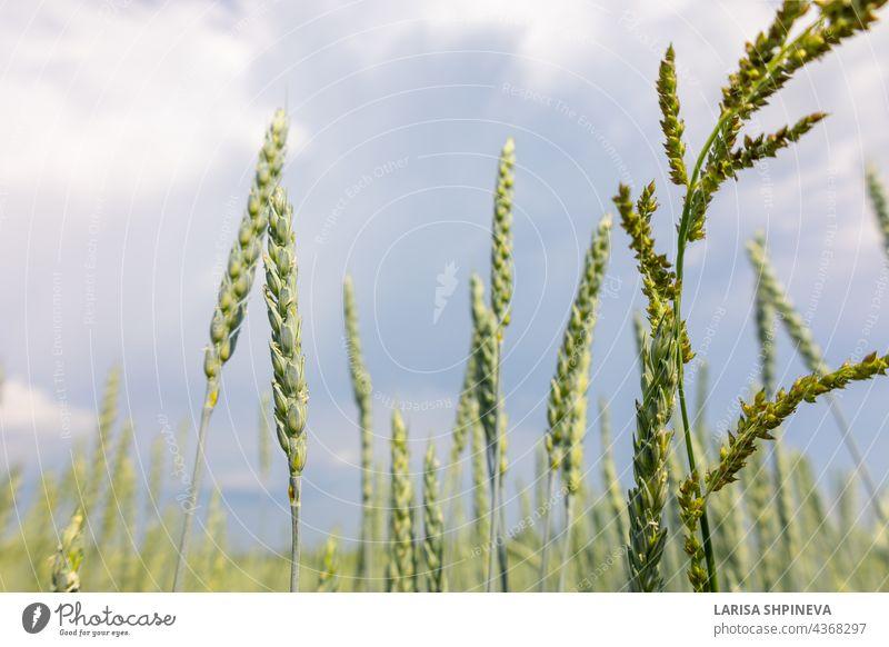 Goldgelbe grüne Ährchen von reifem Weizen im Feld auf blauem Himmel Hintergrund. Panoramablick auf schöne ländliche Landschaft, selektiv Ackerbau Gerste hell