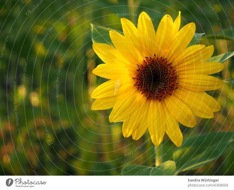 Leuchtende Sonnenblume im Abendlicht Sommer Landschaft Natur Urlaub Feld Blume gelb Außenaufnahme Sonnenblumenfeld Pflanze Farbfoto Umwelt Blüte Wachstum grün