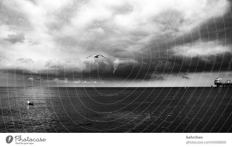 zwei möwen, eine fliegt, eine schwimmt dramatisch Usedom Schwarzweißfoto Vögel Freiheit weite Fernweh Sehnsucht Idylle Wasser Wellen Natur Wolken Himmel Ostsee