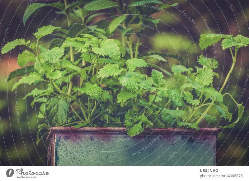 im Topf wächst die frische Minze für den Tee Kräuter Pflanze Kräuter & Gewürze Gesundheit trinken grün gärtnern Topfpflanze blech gesund würzig Aroma