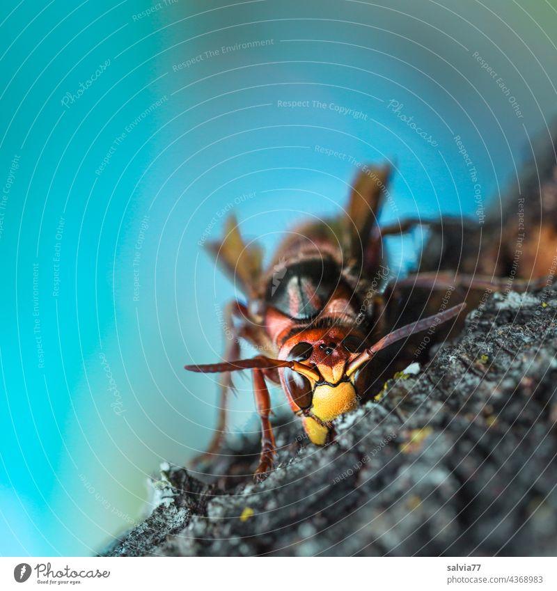 Holzverarbeitung Hornisse Wespe Insekt Makroaufnahme Natur Tier Schwache Tiefenschärfe 1 Tierporträt Nahaufnahme Menschenleer Fühler Facettenauge