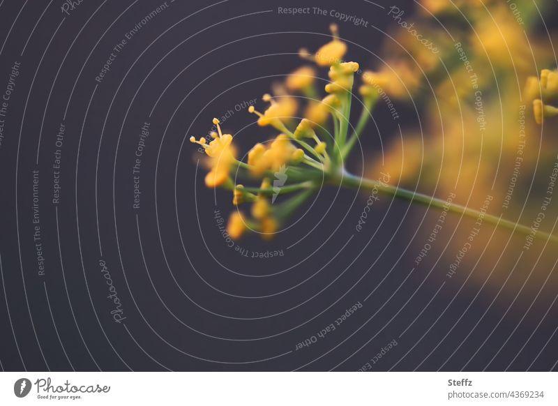 gelbe Dillblüten Anethum Anethum graveolens Dilldolden Gurkenkraut Fischgewürz Gewürzpflanze Heilpflanze Kraut Nutzpflanze Küchenkräuter krautige Pflanze