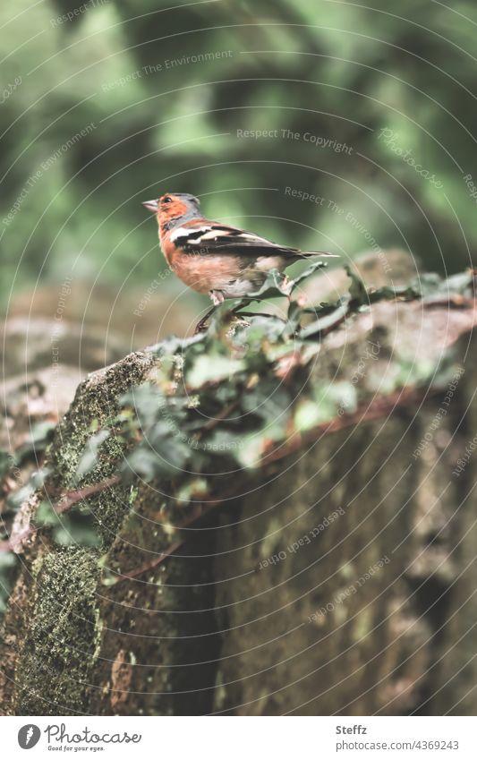 Bewachsene Mauer. Ein Buchfink erstarrt auf dem Stein. Seltsam sein Blick! Vogel Haiku Buchfink Männchen Fink Singvogel Fringilla coelebs Wildvogel