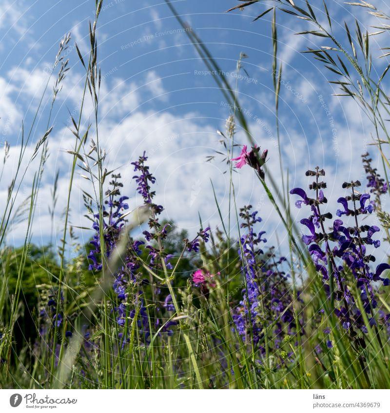 Blumenwiese Wiese Wiesenblumen Sommer Natur Pflanze Umwelt Gras Blühend Blüte Wildpflanze Schwache Tiefenschärfe Farbfoto Außenaufnahme