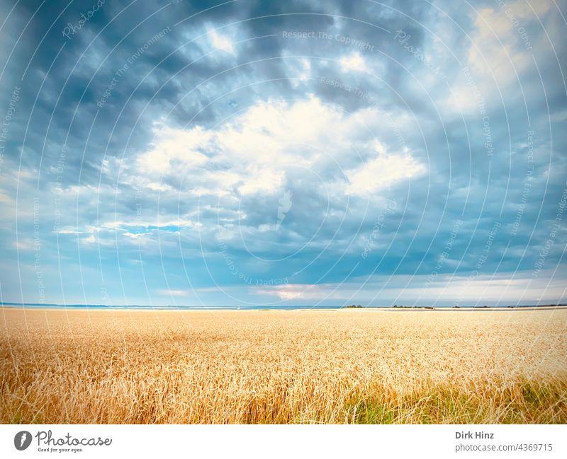 Getreidefeld mit wolkenverhangenem Himmel Feld Landwirtschaft Kornfeld Nutzpflanze Ackerbau Ähren Sommer Ernährung Natur Außenaufnahme Pflanze Menschenleer