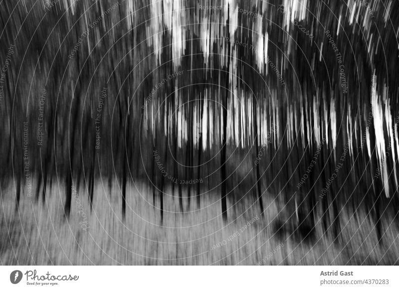 Ein unscharfer, verschwommener Wald in schwarz-weiß wald bäume herbst winter laubbäume birken abend abendlicht kalt kälte frost frostig natur forst baumstämme