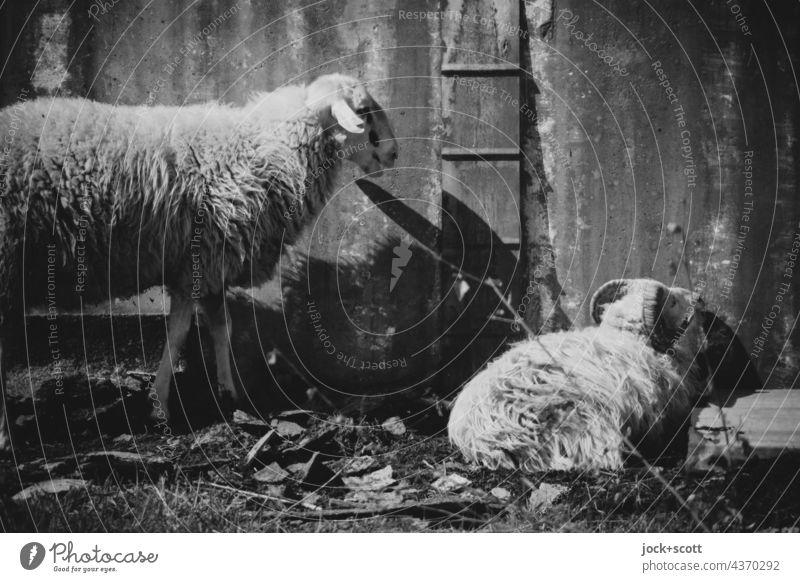 Lost Land Love | zwei harmlose Schafe im Schafspelz Nutztier Metallwand ruhen Viehhaltung Schwarzweißfoto lost places Wellblech Ruhephase Zahn der Zeit