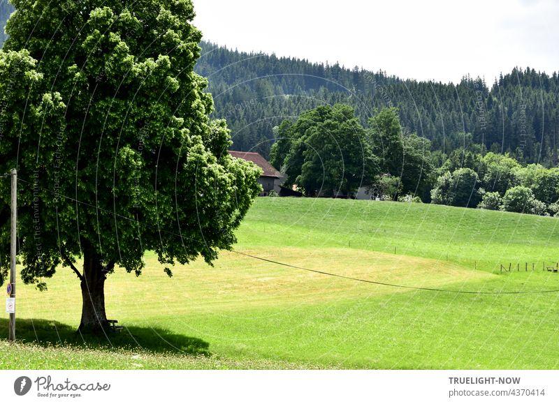 Am Rande des Heimatdorfes fällt der Blick auf in sanftem Schwung abfallende Wiesen, Weiden, ein abgeerntetes Feld und im Vordergrund ein prächtiger Lindenbaum, der mit den Bäumen und Büschen eines Gehöfts und dem Tannenwald im Hintergrund kommuniziert