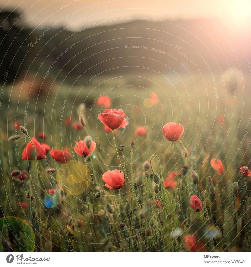 sonne, mohn, ...bald sterne Natur grün Pflanze Sommer Sonne rot Blume Umwelt Wiese Gras Blüte Feld gold Schönes Wetter ästhetisch Mohn