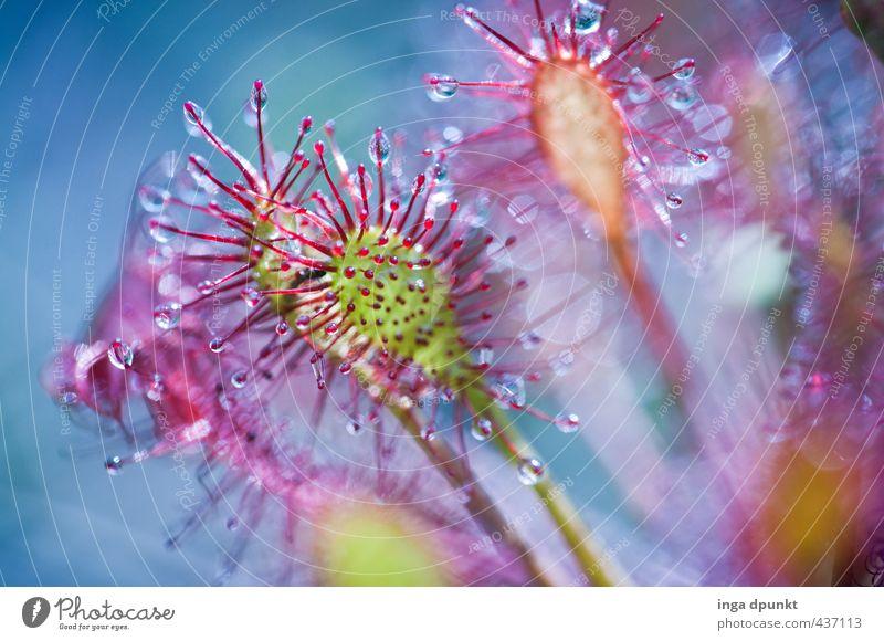 Sonnentau Umwelt Natur Pflanze Wildpflanze Sonnentaugewächse Rundblättriger Sonnentau Wiese Moor Sumpf natürlich Umweltverschmutzung Umweltschutz Fliegenfalle