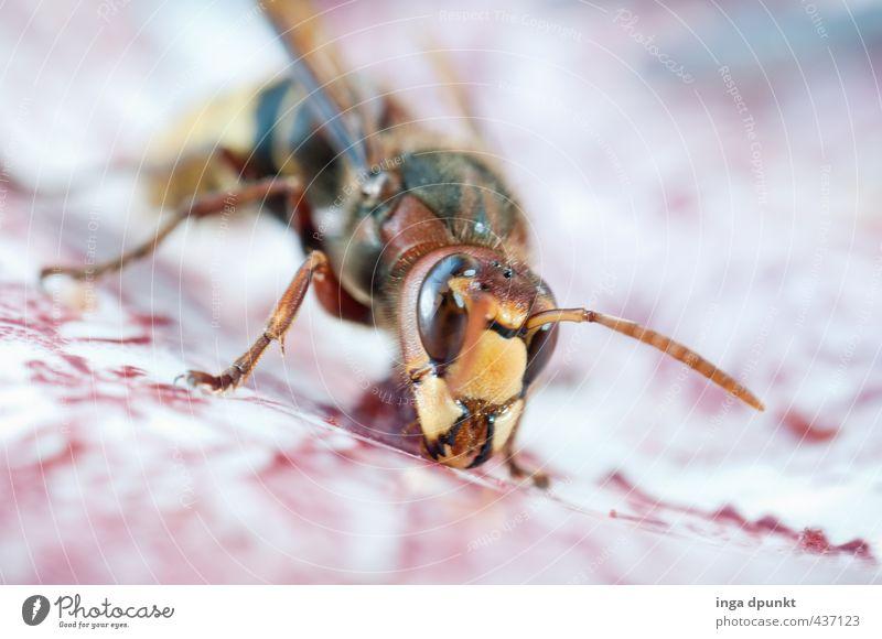 Hornissenbesuch Natur Tier Umwelt Wildtier Insekt Fressen Umweltschutz krabbeln Wespen Hornissen