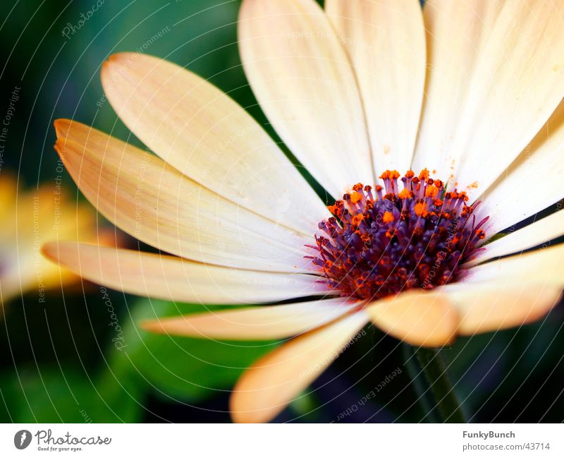 muttis balkonpflanzen Blume Pflanze Blüte Balkonpflanze Margarite wunderland Margerite