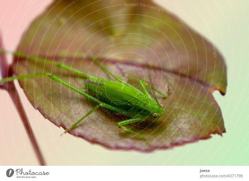 Grüner Grashüpfer auf Rosenblatt Heuschrecke Blatt Nahaufnahme schwache Schärfentiefe Natur grün Makroaufnahme Menschenleer Pflanze Tag Heupferd Außenaufnahme