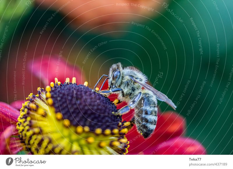 Honig Angeln in HD ;-) Natur schön grün Pflanze Sommer rot Blume Tier gelb Wärme springen ästhetisch Flügel Biene Teamwork Nutztier