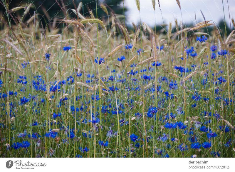 Ein letztes erblühen des Weizenfeld und im Vordergrund sind  blaue Kornblumen. Kornfeld Feld Natur Landwirtschaft Außenaufnahme Nutzpflanze Getreide