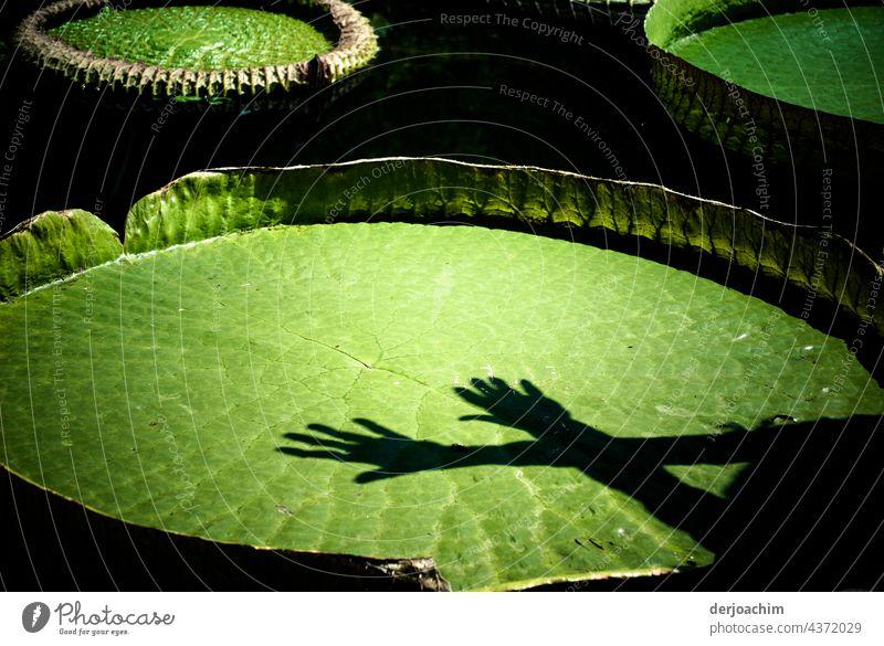 Riesenseerose mit zwei  über kreuz, liegenden Händen, mit  Schatten im Sonnenlicht. Seerosen Natur Wasser Farbfoto Außenaufnahme Teich Pflanze Menschenleer