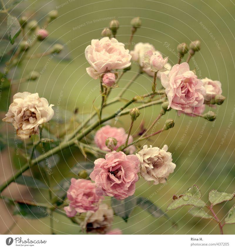 Röschen grün Pflanze Sommer rosa Blühend Rose
