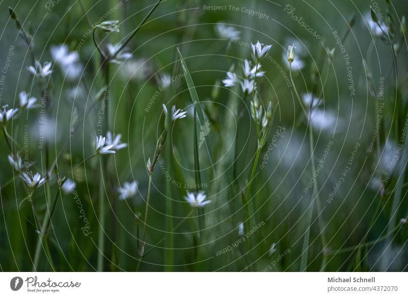 Weiße Blümchen auf einer saftig grünen Wiese weiße blüten Wiesenblume Wiesenblümchen Wiesenblumen Blume Wildpflanze Sommer Blumenwiese blühen Blühend