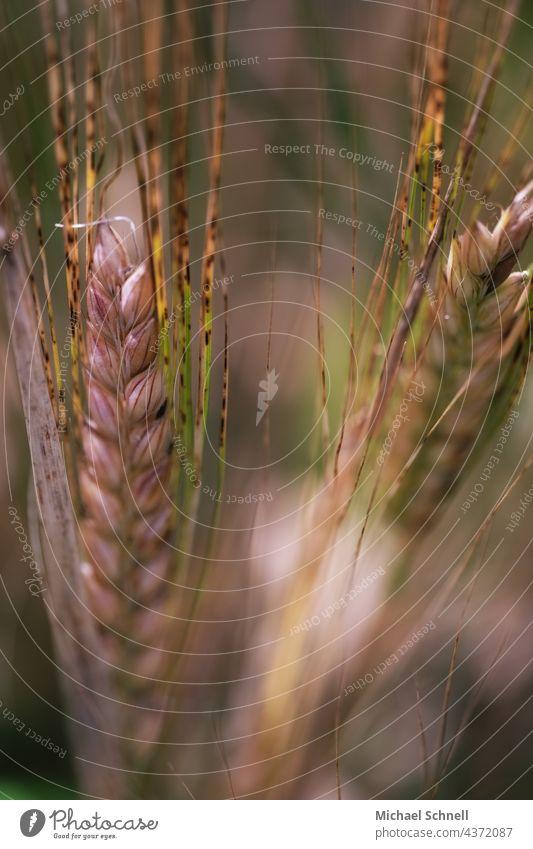 Nahaufnahme von Getreide (Gerste) Korn Kornfeld Gerstenähre Ähren Feld Landwirtschaft Natur Getreidefeld Nutzpflanze Ackerbau Sommer