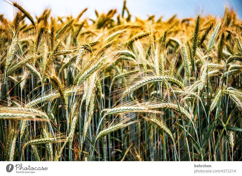 wertvoll Farbfoto ökologisch Granne Ernährung Menschenleer Ernte Landschaft Außenaufnahme Umwelt Ackerbau Nutzpflanze idyllisch Idylle Pflanze Lebensmittel Korn