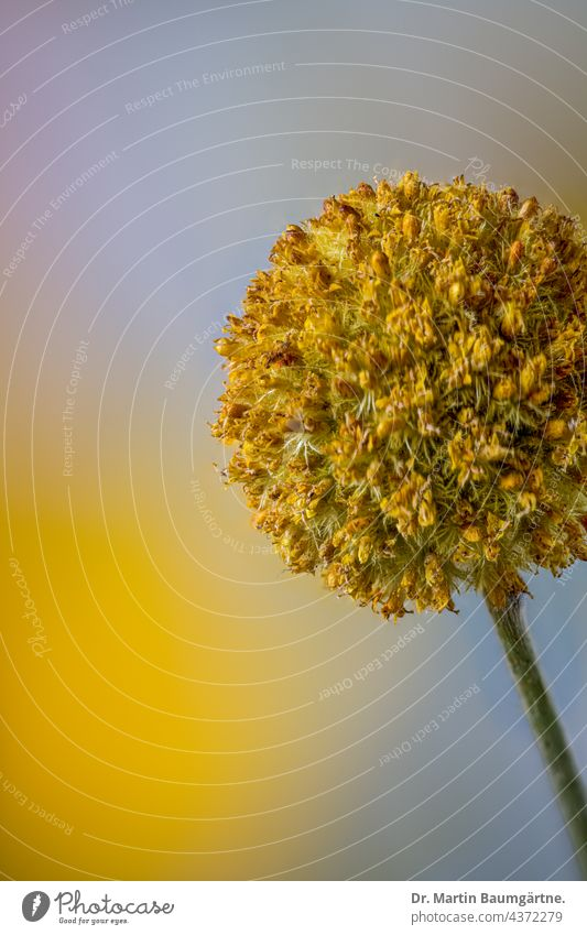 Blütenstand von Craspedia globosa, Billy button Staude Blume Pflanze aus Australien gelb kugelförmig Korbblütler Asteraceae Compositae mehrjährig