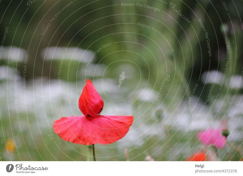 Mohntanz am Mo(h)ntag Mohnblume Mohnblüte Klatschmohn Blumenwiese blühen wachsen Sommer Sommerblumen Natur Umwelt Blühwiese außergewöhnlich Nahaufnahme