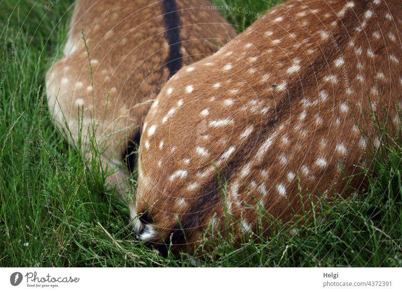 ganz nah - zwei Damtiere liegen auf einer Wiese eng aneinander gekuschelt, nur die Hinterteile sind zu sehen Damwild Tier kuscheln Damwildgehege Farbfoto