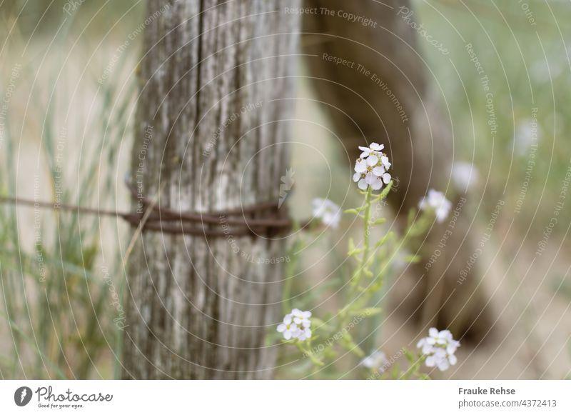 Weiße Blüten der Strandrauke (Cakile maritima) neben einem Zaun aus Holz und verrostetem Draht weiß Düne Meersenf Europäischer Meersenf Strandpflanze Küste