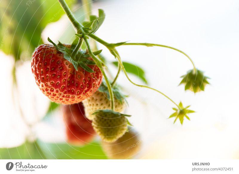 die leckeren Erdbeeren sind bald reif Obst Frucht reifen frisch fruchtig Lebensmittel Vitamin vitaminreich Bioprodukte Farbfoto süß Ernährung Vitamin C grün rot