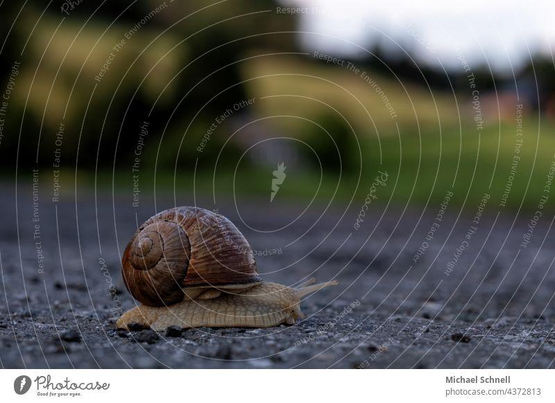 Eine Weinbergschnecke überquert eine kleine Straße Weinbergschnecken langsam kriechen kriechend Kriechende Schnecke Tier Schneckenhaus Natur Fühler schleimig