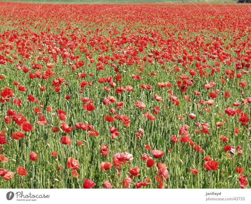 Klatschmohn Mohn Blume Feld rot grün Graffiti