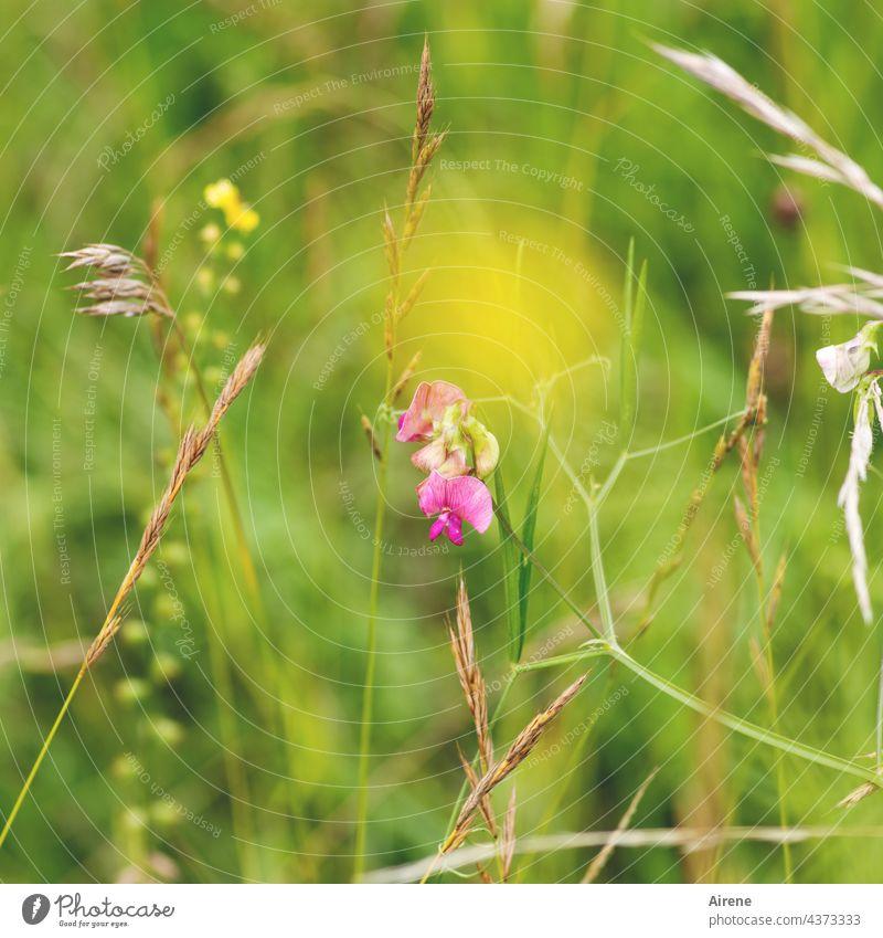 Prinzessinnengleich, platt Erbse wird es genannt, was hier das Grün ziert. Platterbse Wiese rosa pink gelb Blumenwiese grün Gras unscharf klein zierlich