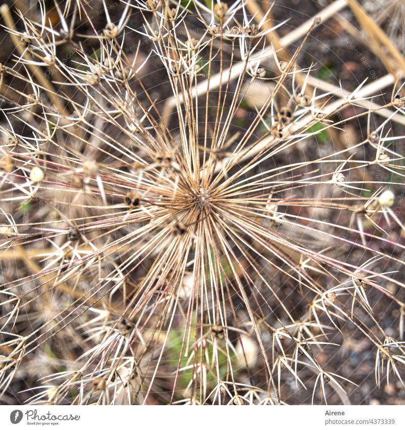 Stachelkugel Lauch Trockenblume trocken dürr Wildlauch Samenstand dornig zackig spitz kugelig rund strahlenförmig Kugel vertrocknet alt Allium Wilfpflanze Blume